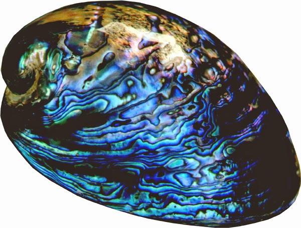 صدف های تزئینی نیوزیلند - سوغات نیوزلند