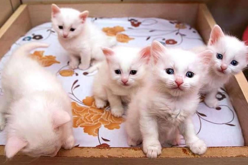خانهی گربههای وان